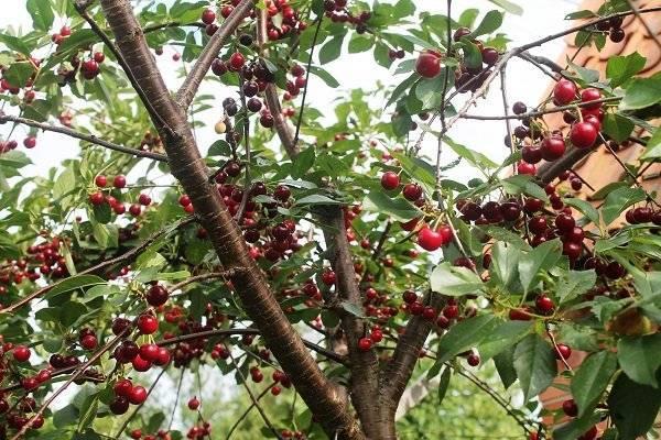 Опылители вишни владимирская