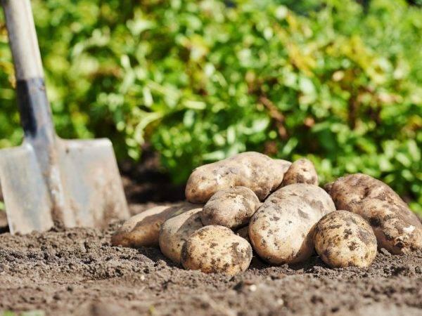 Картофель бриз: характеристика сорта
