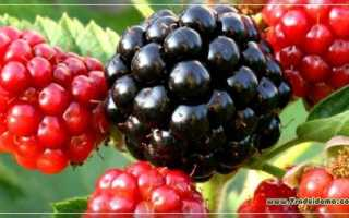 Ежемалина, описание лучших сортов, отзывы, уход: посадка и выращивание