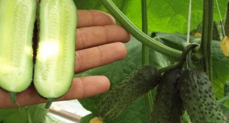 Партенокарпические огурцы: что это, описание сортов, выращивание и уход