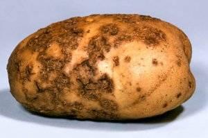 Парша на картофеле: как бороться
