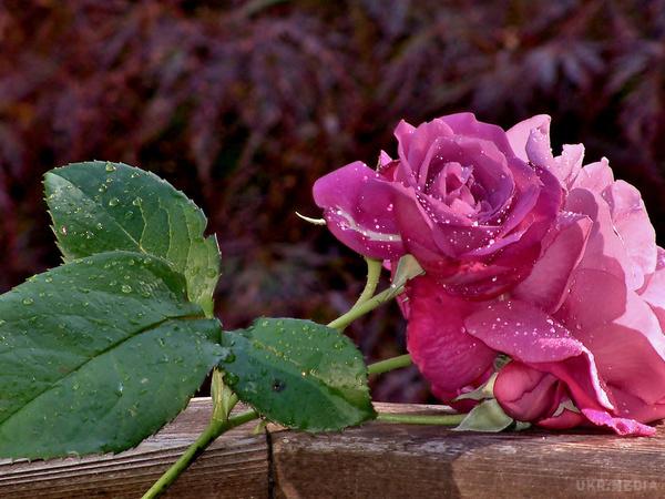Шиповник - дикая роза. как отличить розу от шиповника как отличить плоды шиповника от плодов розы