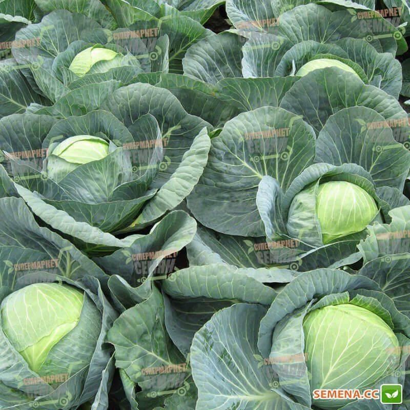 Превосходный урожай при правильном и легком уходе — капуста орион f1: подробное описание