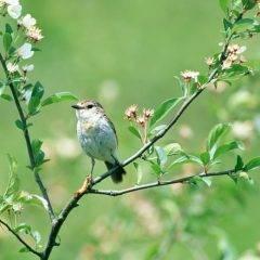 Защита вишен и черешен от скворцов, воробьев и других птиц