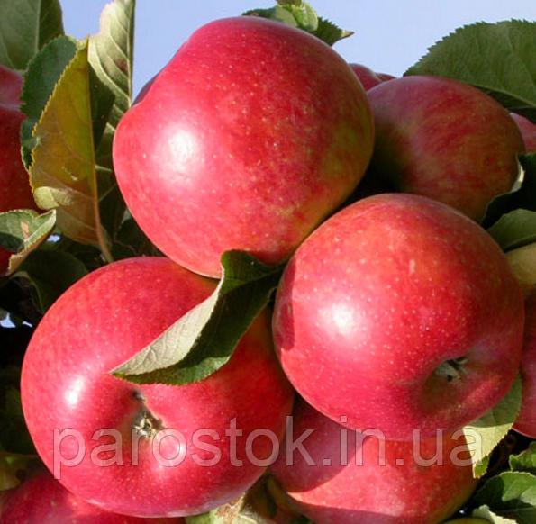Летний гибрид: яблоня елена