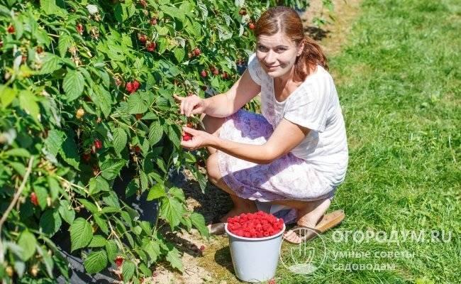 Малина гусар: отзывы, фото, описание крупноплодного ремонтантного сорта