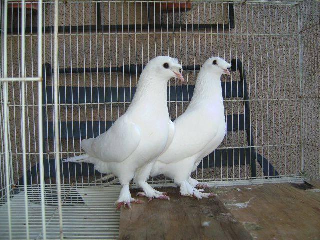 Турецкие бойные голуби - такла: описание, фото, уход и содержание
