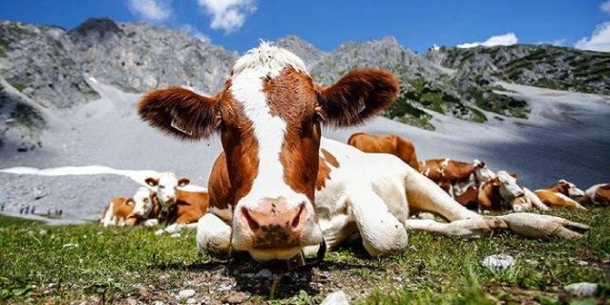 Понос у коровы: лечение в домашних условиях