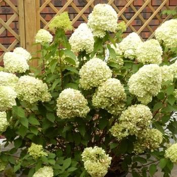 О гортензии дентель де горрон (dentelle de gorron) — как сажать и выращивать сорт