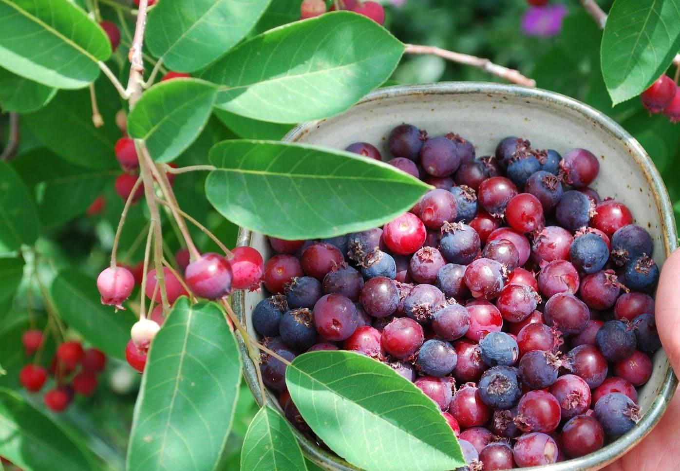 Ирга: обзор ягодного кустарника и секреты его выращивания