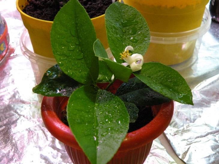 Размножение клубневой бегонии черенками: советы, как укоренить растение, можно ли это сделать новичкам в садоводстве и каким образом ухаживать за цветком