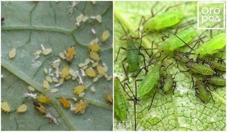 Ирисовая муха и методы борьбы с ней