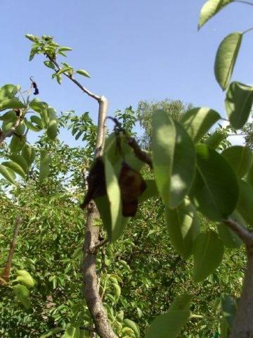Почему у груши чернеют листья и плоды?
