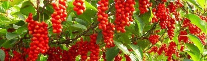 Лимонник китайский: выращивание и уход на урале