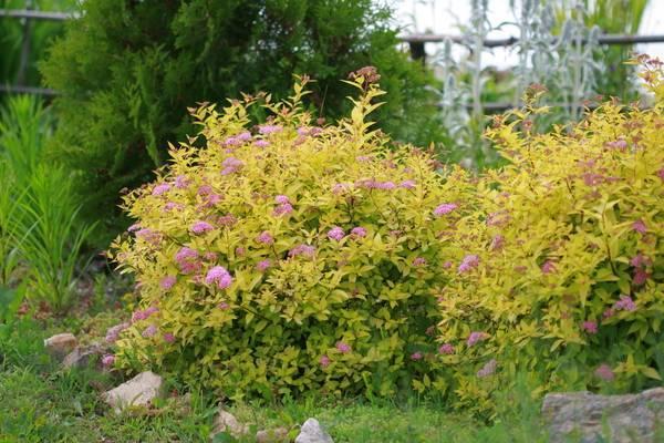 Спирея «голден принцесс» (34 фото): описание спиреи японской golden princess, посадка и уход, использование кустарника в ландшафтном дизайне