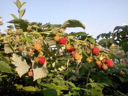 Малина ремонтантная: лучшие сорта, характеристика, урожайность, свойства