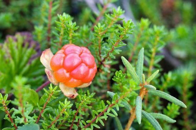 Морошка где растет — ягоды грибы