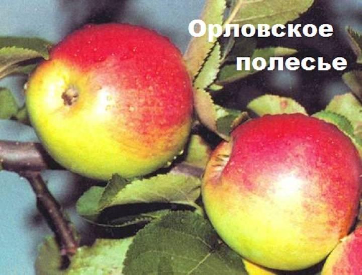 Яблоня Орловское полосатое: описание, опылители, фото, отзывы