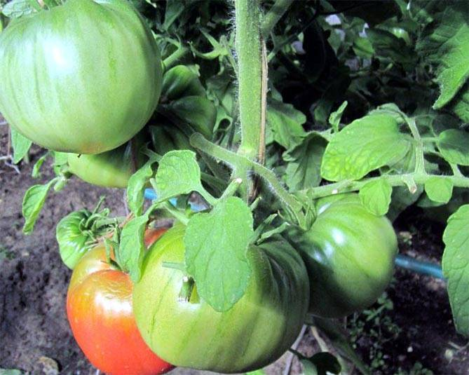 Бабушкин секрет – шикарный сорт помидоров сибирской селекции