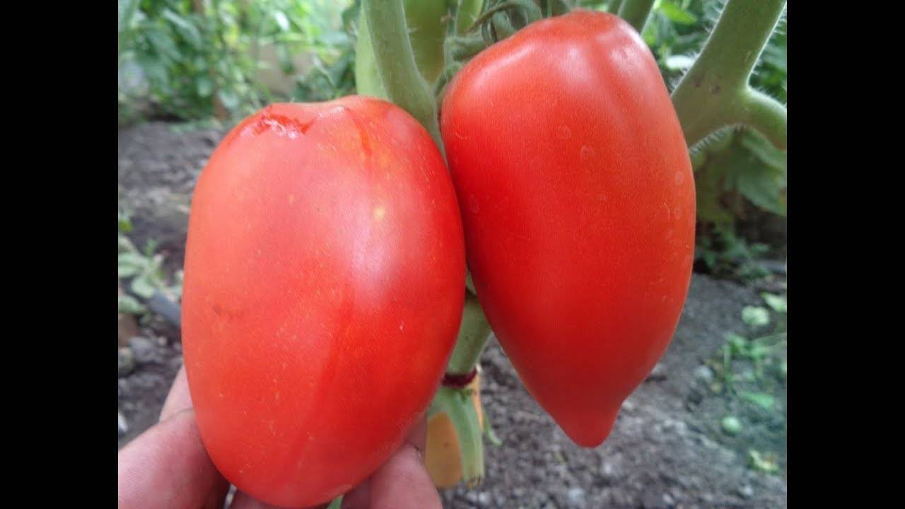 Характеристика и описание томата «сибирская тройка»