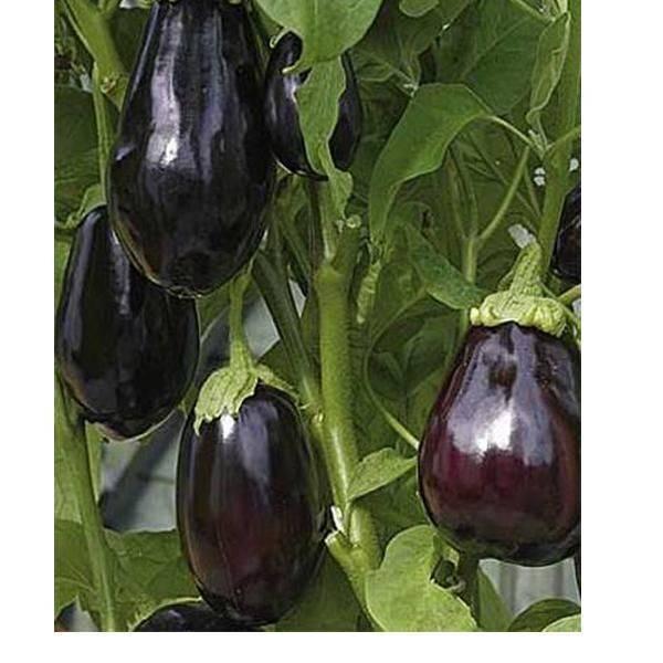 Описание сорта баклажан черный красавец