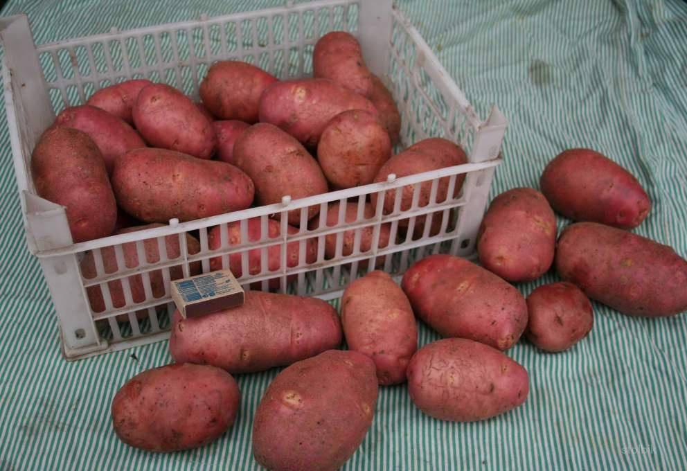 Сорт картофеля красавчик: описание и характеристика, отзывы