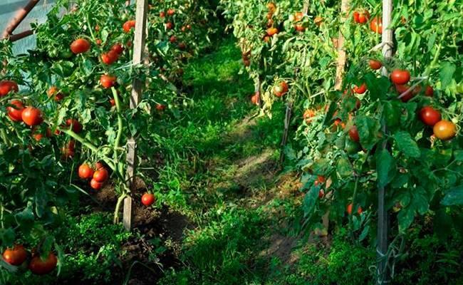 Когда высаживать помидоры в теплицу в подмосковье?