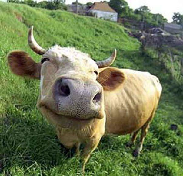 Разведение и содержание коровы (крупный рогатый скот в домашнем хозяйстве)