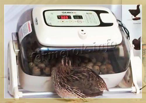 Правила инкубации перепелиных яиц в домашних условиях: таблица температурных режимов, особенности закладки и ухода