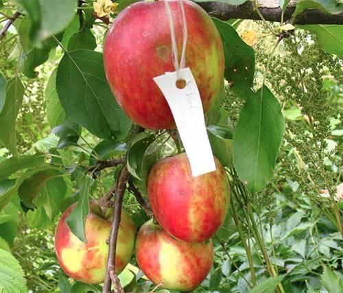 Описание яблони сорта «заветное»: фото, отзывы