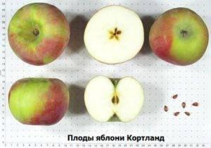 Яблоня кандиль орловский: описание сорта, фото, отзывы садоводов, видео