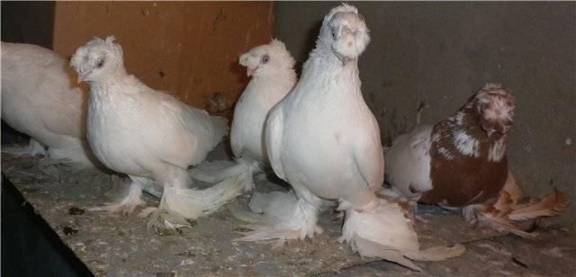 Узбекские голуби: их характеристики и виды