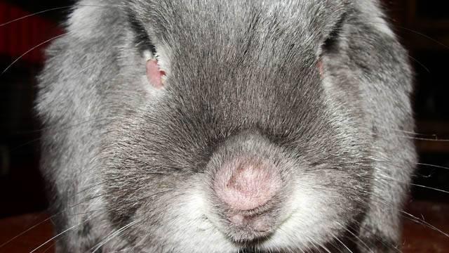Болезни кроликов — заразные и незаразные