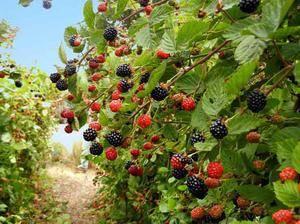 Правильный весенний уход за ежевикой для большого урожая