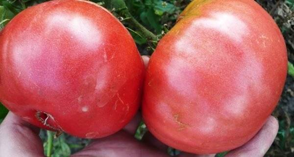 """Томат """"шапка мономаха"""": описание сорта, характеристика и фото помидоров"""