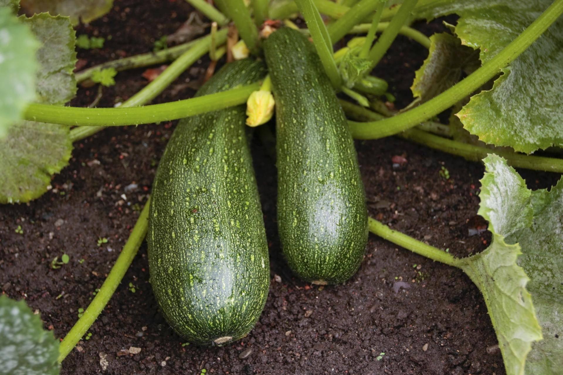 Кабачки и цуккини: лучшие сорта и агроприемы выращивания