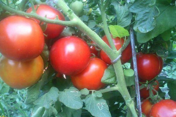 Гибрид помидора «султан f1»: фото, видео, отзывы, описание, характеристика, урожайность