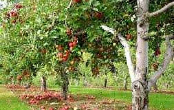 Обрезка яблони: сроки и основные правила технологии