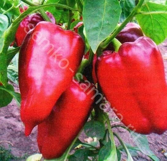 Полюбившаяся садоводами новинка польской селекции — перец робертино: отзывы об урожайности и описание