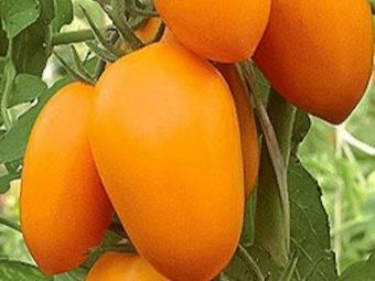 Томат золотое руно: характеристика и описание сорта, урожайность, фото, отзывы