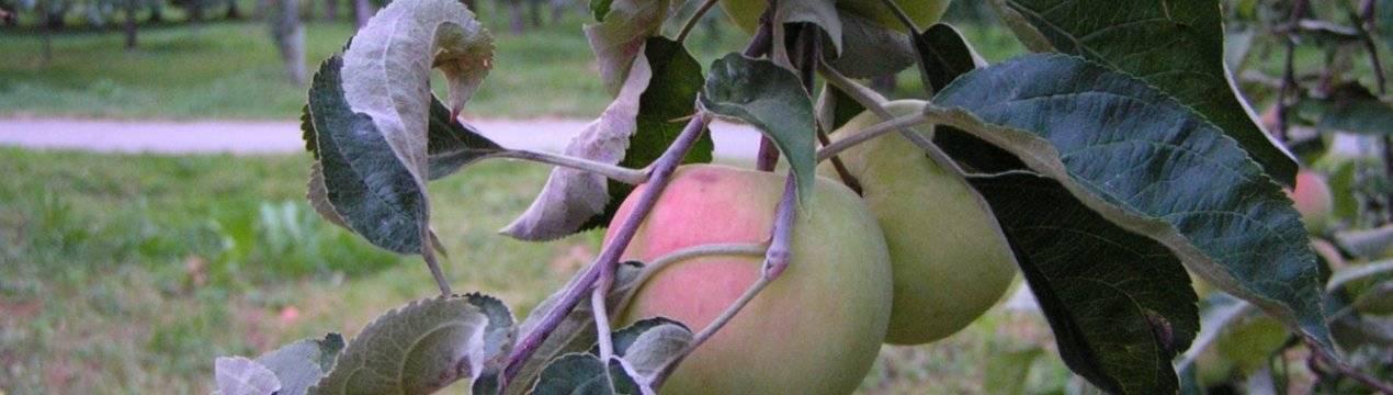 Яблоня малиновка идеально подходит для разведения в придомовых хозяйствах