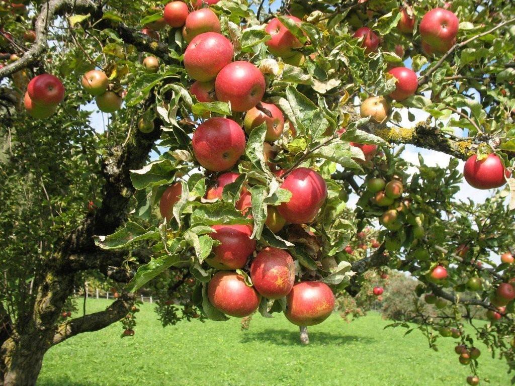 Описание сорта яблони «орловим» с фото и отзывами