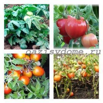 Урожайные сорта помидоров для открытого грунта