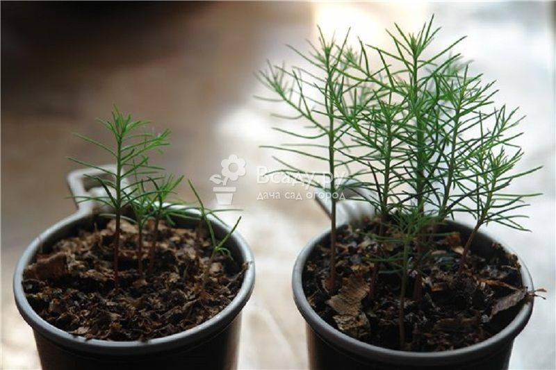 Особенности технологи самостоятельного выращивания саженцев сосны из семян