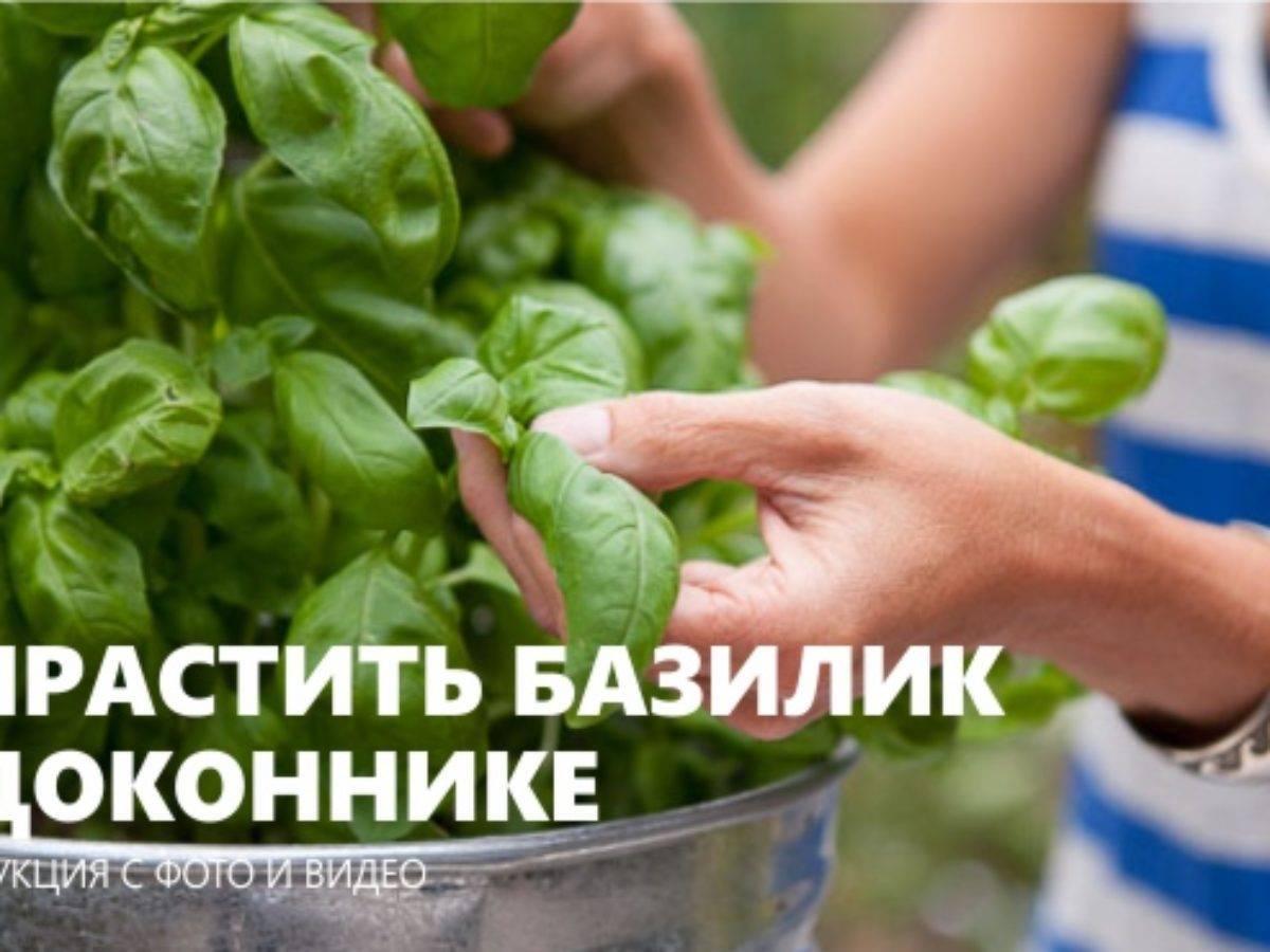 Базилик выращивание из семян