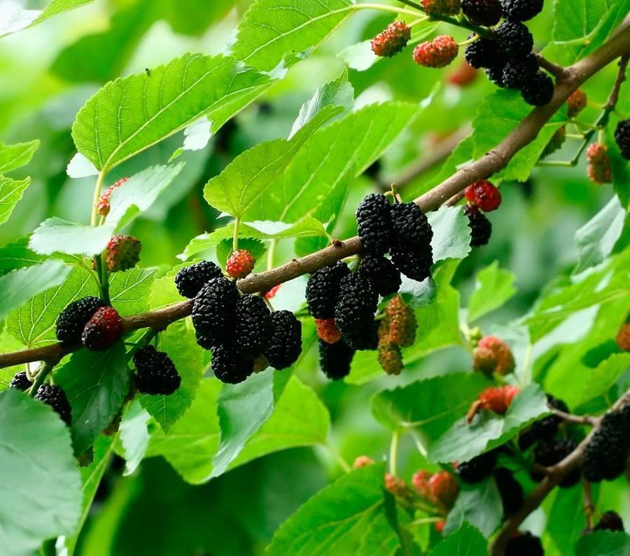 Полезные свойства шелковицы: польза, противопоказания, вред и лечебные свойства плодов шелковицы (75 фото)