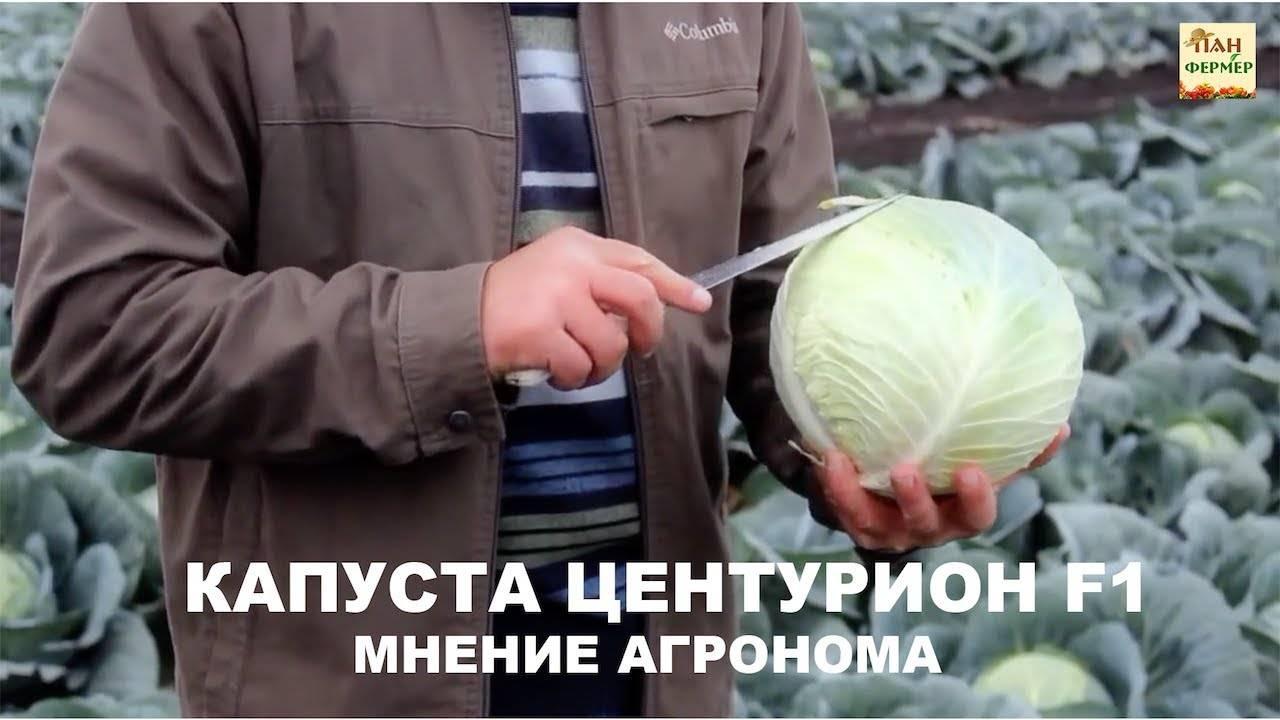 Сорт капусты крауткайзер (f1)
