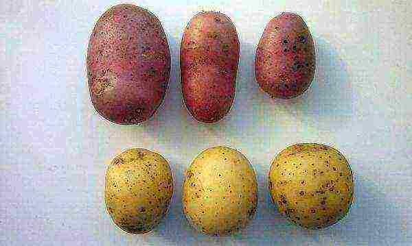 Сорт картофеля любава: описание и характеристика, отзывы