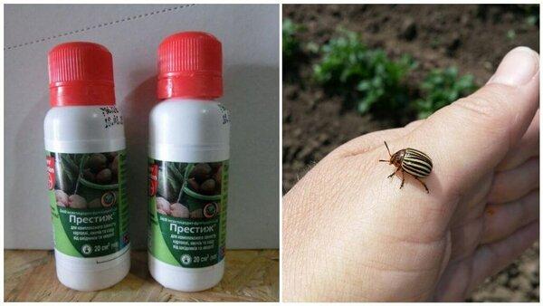 Как правильно использовать средство «престиж» против колорадского жука