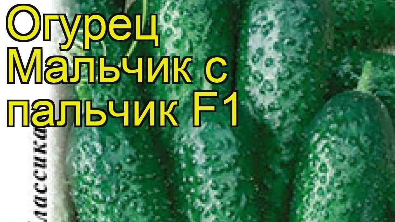 Описание сорта огурцов пальчик, особенности посадки и ухода